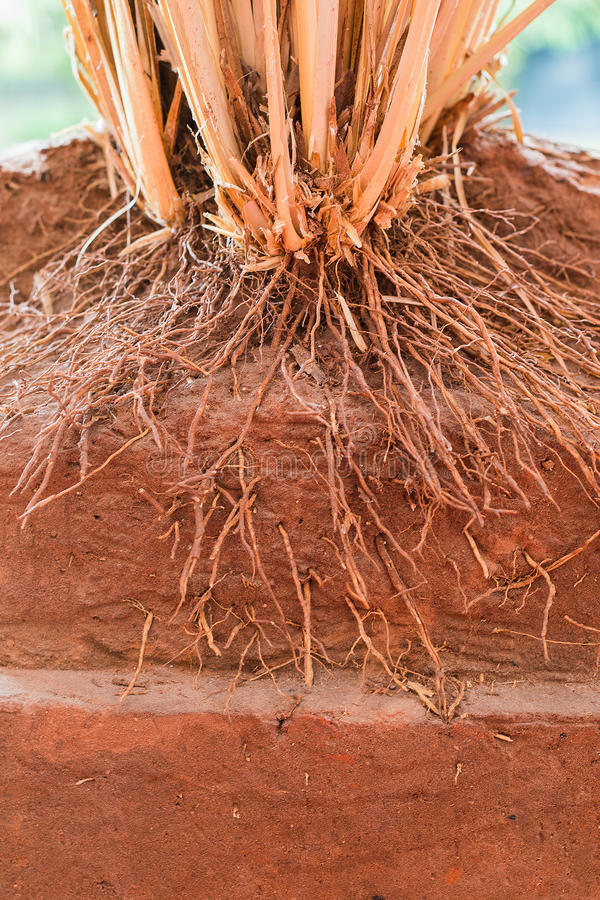 The root of Vetiver Grass stock photo