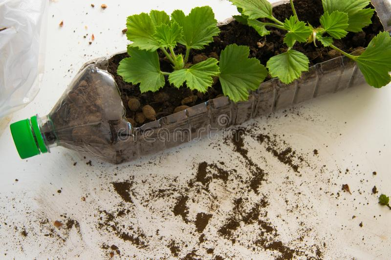 Rooting cuttings from Geranium plants in the plastic bottle royalty free stock image