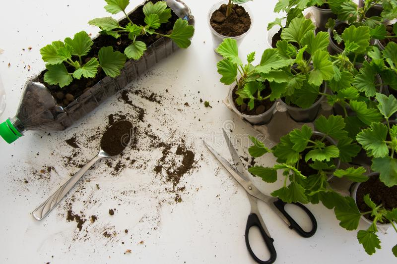 Rooting cuttings from Geranium plants in the plastic cups/bottle. DIY gardening, crafts ideas royalty free stock image