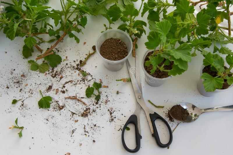 Rooting cuttings from Geranium plants in the plastic cups stock photos