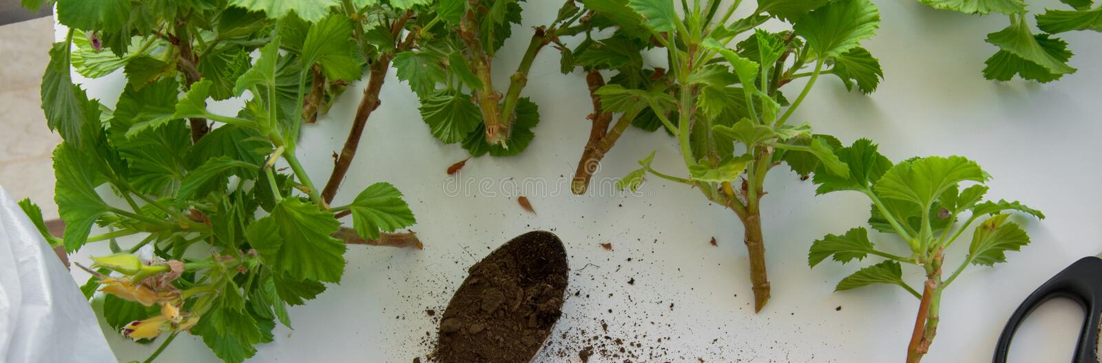 Rooting cuttings from Geranium plants in the plastic cups. DIY gardening stock photo