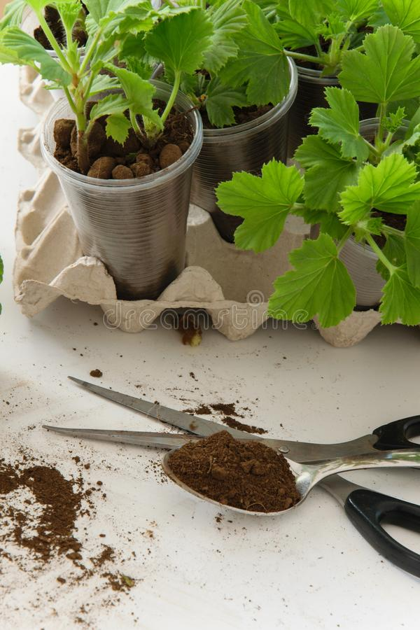 Rooting cuttings from Geranium plants in the plastic cups royalty free stock images