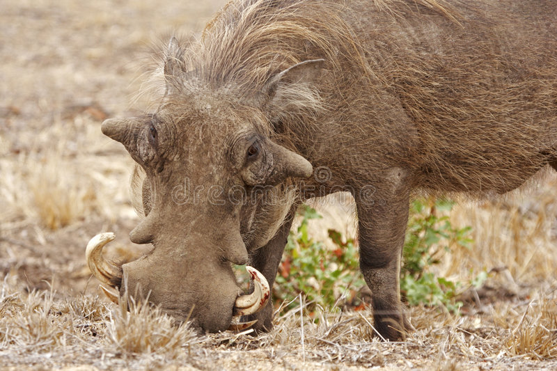 Download Rooting Warthog Royalty Free Stock Photo - Image: 9250885