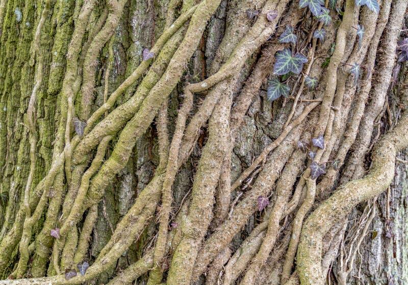 Rootlets da hera imagens de stock royalty free