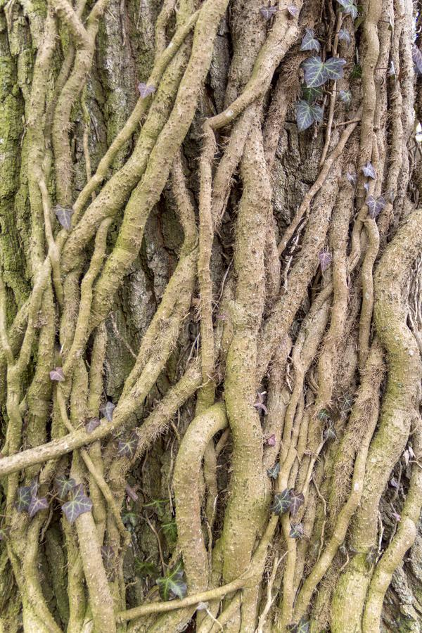 Rootlets da hera imagem de stock royalty free