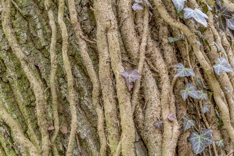 Rootlets da hera fotografia de stock royalty free
