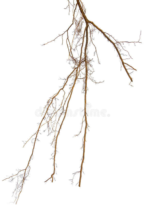 Roots. Of plant on a white background royalty free stock photos