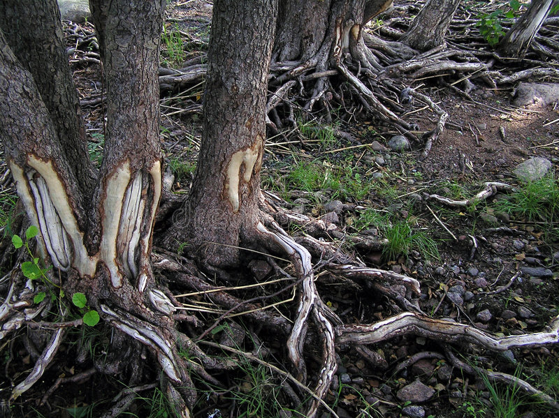 Roots. Defective roots of coastal trees stock photos