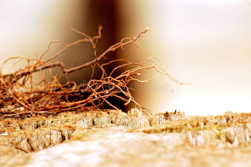 Roots. Dead coconut root getting dry royalty free stock photography
