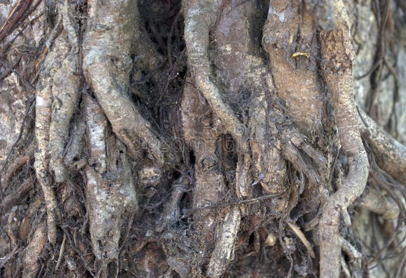 Roots of a age old peeple tree in a village. Roots grow millions of tiny hairs that absorbs water and nutrients from the soil and sometime looks like an abstract royalty free stock photos