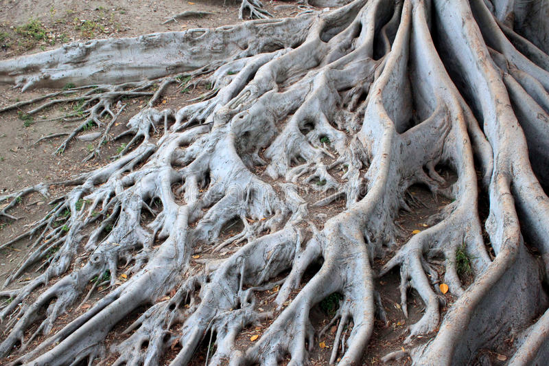 Roots of an aged tree. Spread out roots of an old tree at balboa park san diego stock images