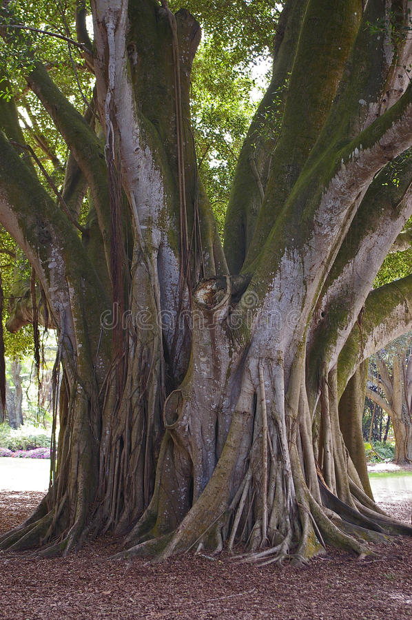 Download Roots Of A Banyan Tree stock image. Image of system, growing - 23365961