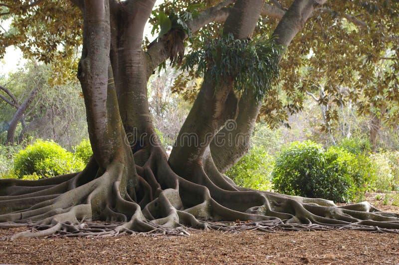 Roots Of A Banyan Tree royalty free stock photo