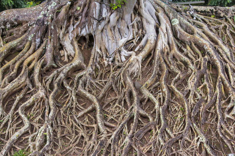 Roots of big tree. Covered the ground downwards royalty free stock images