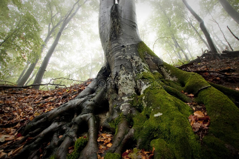 Roots of big tree with green moss in a forest with fog royalty free stock photo