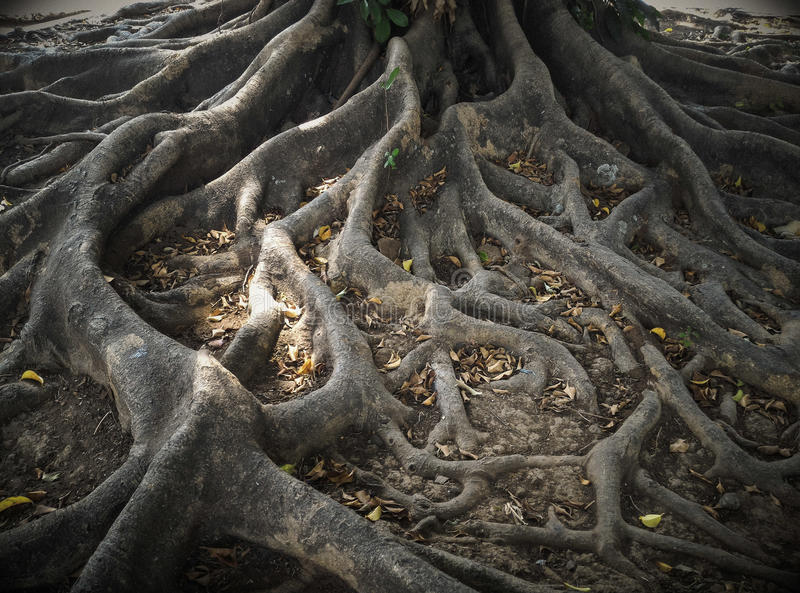The roots of a big tree. The roots of an old big tree. Earth roots royalty free stock image