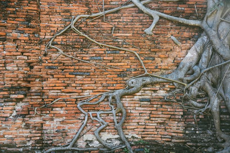 Roots of bodhi tree covered and growth on old red brick wall in Buddhist temple ruins, Ayutthaya, Thailand copy space stock photo