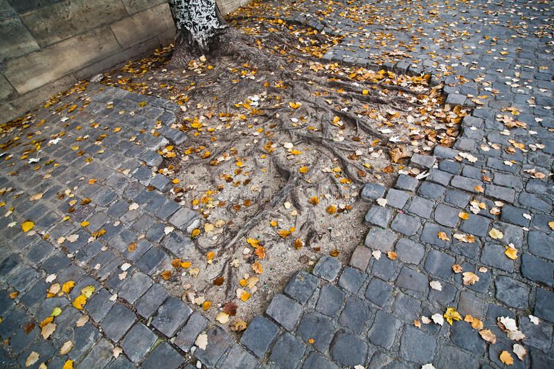 Roots coming out of the cobblestones stock image