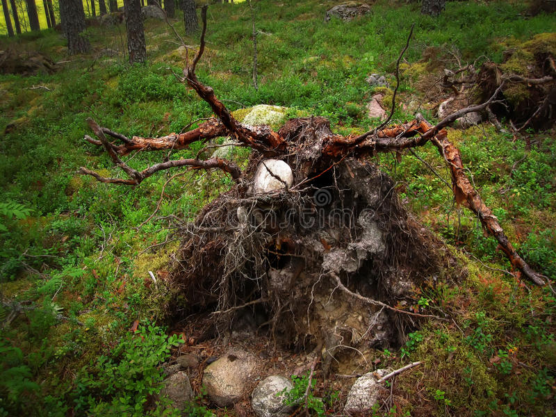 The roots of a fallen tree. In the forest stock photo