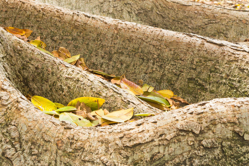 Roots of fig tree with leaves. A close up view of the roots of a fig tree with colourful leaves stock images