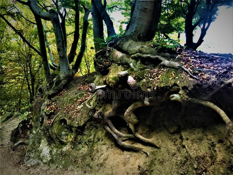 Roots, trees, forest and magical atmosphere. Roots, forest, trees, lights, magical atmosphere, research of basis and fundamentals royalty free stock image