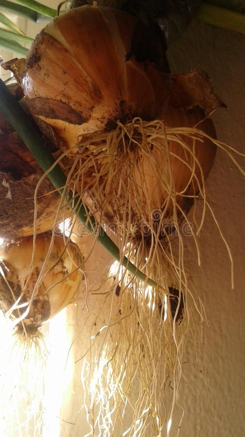 Roots of freshly harvested onions stock photo