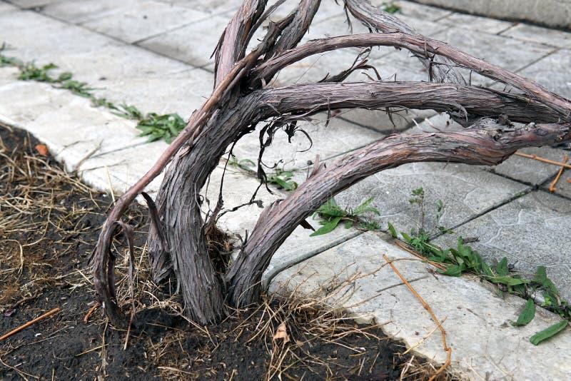 Roots of isabella grapes bush close up stock photography