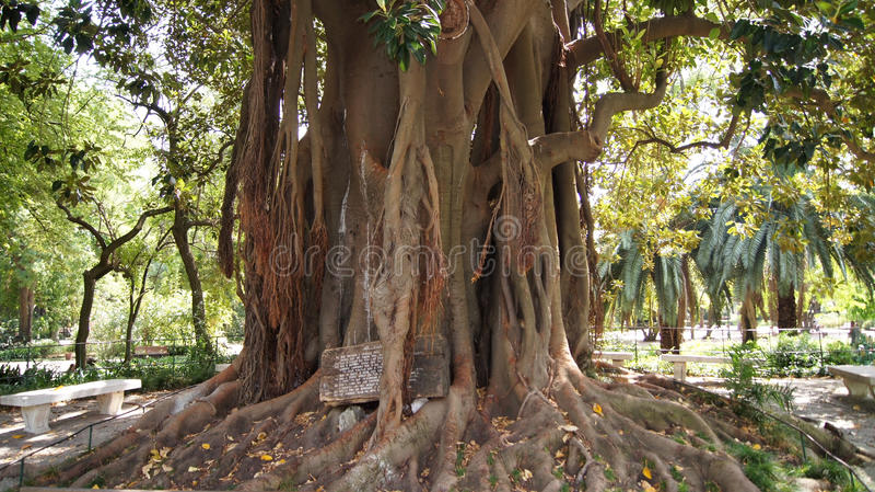 The roots of a large tree. The roots of a large ancient tree in Tropical Botanical Garden, Lisbon, Portugal stock photos