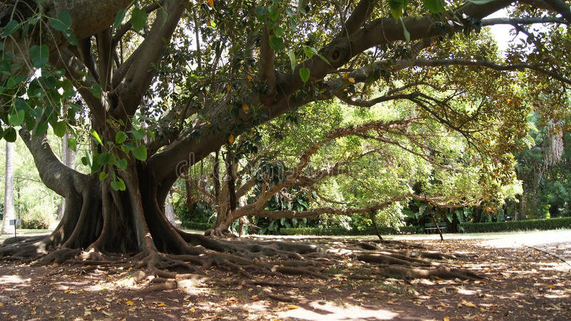 The roots of a large tree. The roots of a large ancient tree in Tropical Botanical Garden, Lisbon, Portugal royalty free stock photography