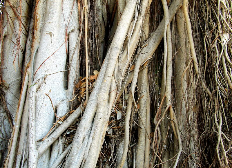 Roots of a large tropical tree. stock images