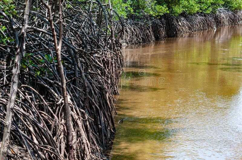 Roots of mangrove trees beside a brackish water canal. Messy roots of mangrove trees beside a clean and clear brackish water canal stock images
