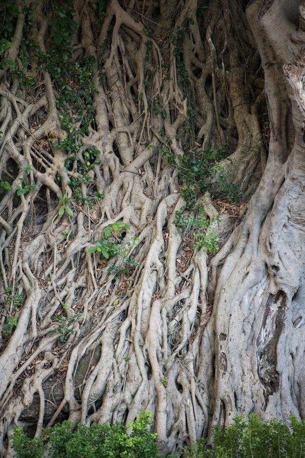 Roots of old banyan tree stock photography