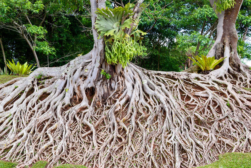 Roots of old tree, an amazing chaos. Roots of old tree, amazing chaos at Chulabhorn Dam, Chaiyaphum, Thailand stock photo