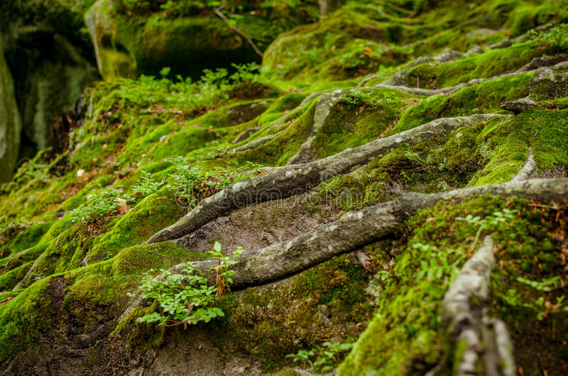 Roots of an old tree. In the forest stock image