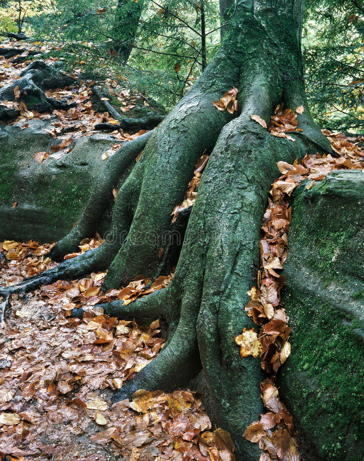 Download Roots Over Rocks stock image. Image of nature, autumn - 7185521