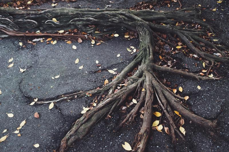 Roots on pavement royalty free stock photo