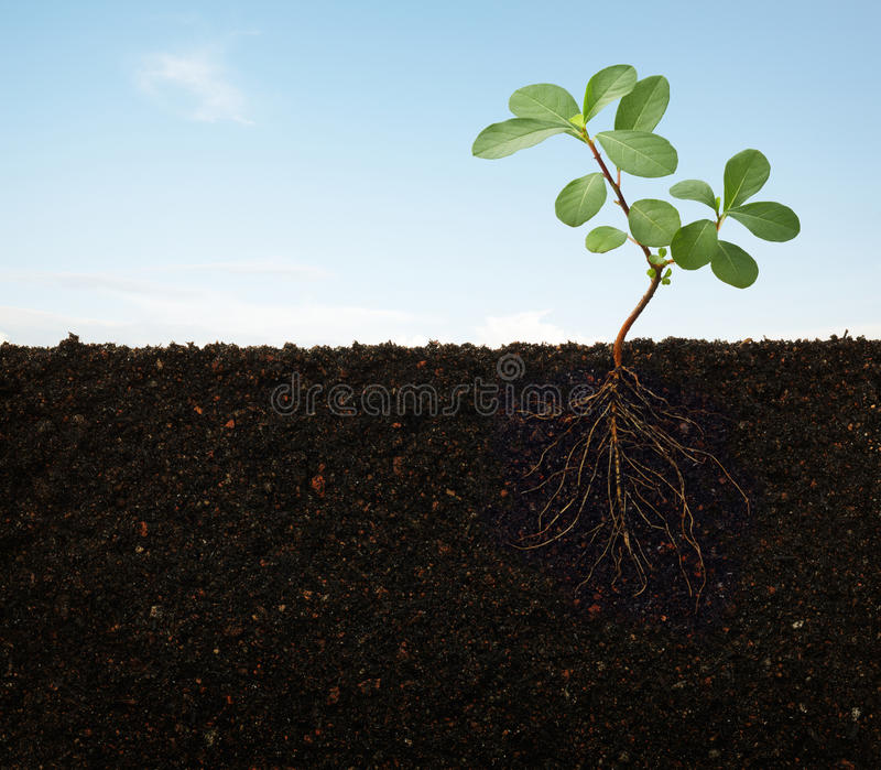 Roots of a plant royalty free stock images