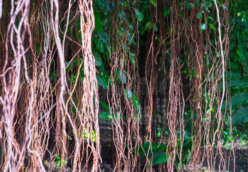 Roots rotar av banyan royaltyfri fotografi
