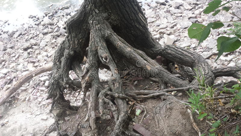 The roots royalty free stock photography