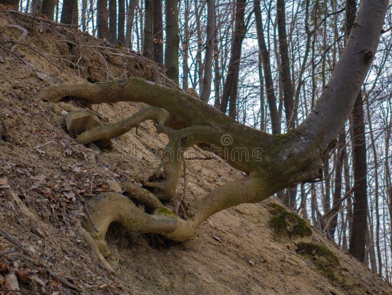 Roots täckte med mossa i skogen royaltyfria bilder