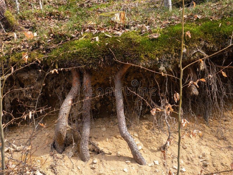 Roots t?ckte med mossa i skogen royaltyfri fotografi