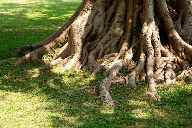 Roots of tree. In green grass stock image