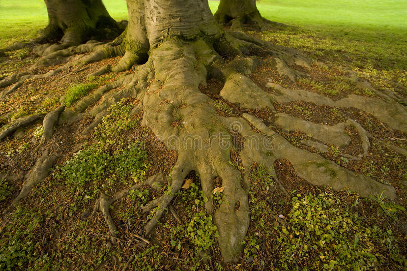 Roots of tree. Big roots of beech tree in park royalty free stock image