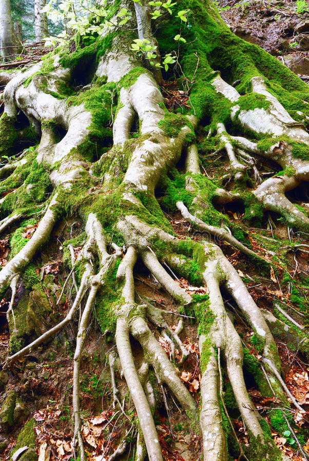 Roots of a tree. Big roots of a secular tree into the forest royalty free stock image