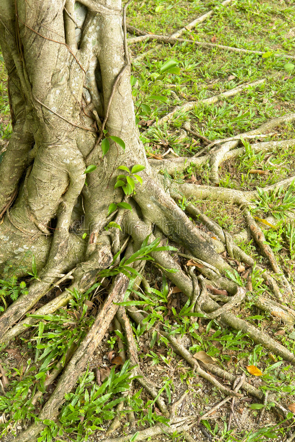 Roots of the tree. Roots of an old tree in spring time royalty free stock image