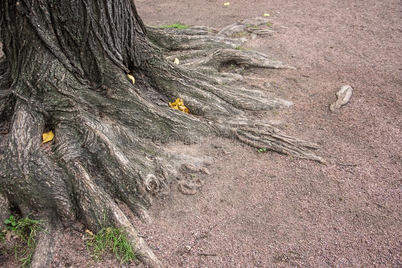 Roots of tree bark in the park ground. royalty free stock photo
