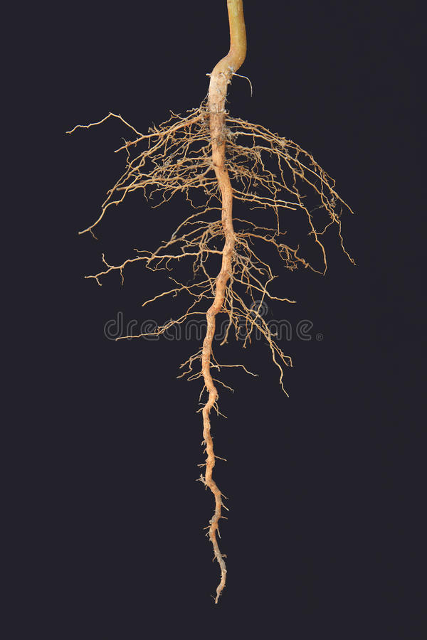 Roots tree. On black background royalty free stock images