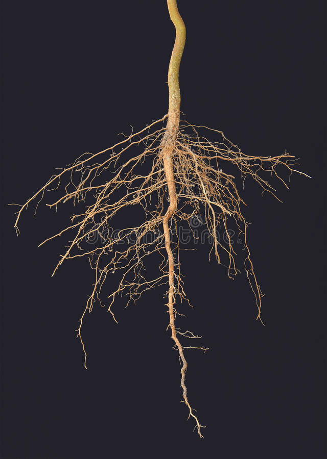 Roots tree. On black background royalty free stock photography