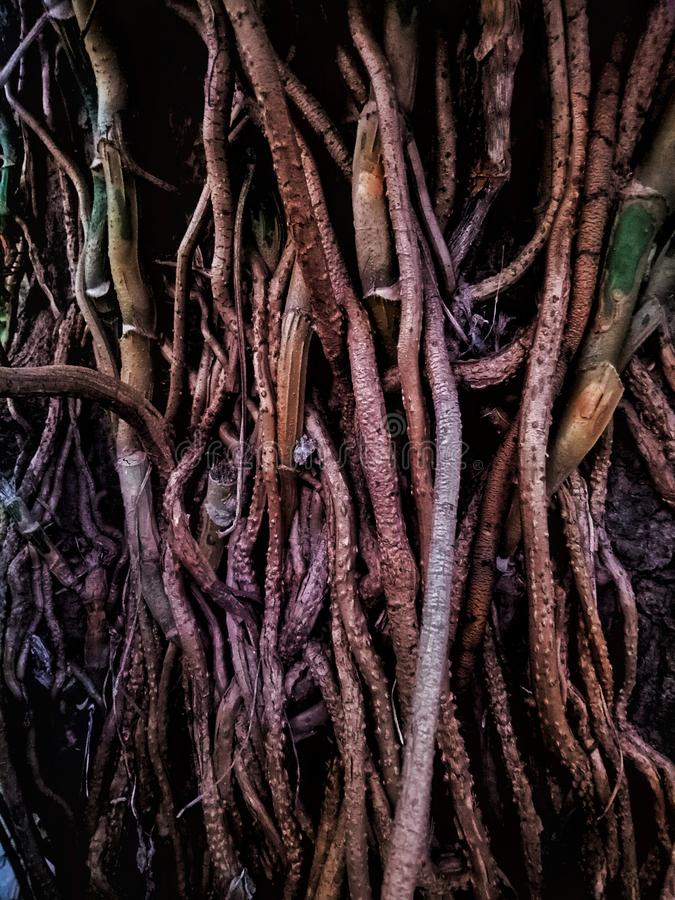 Roots of the tree. Roots tree brown plant tropical nature royalty free stock photos