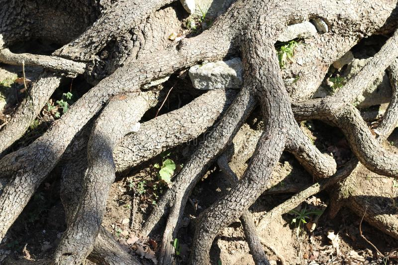 Roots of a tree. Closeup of many roots of an old tree royalty free stock images